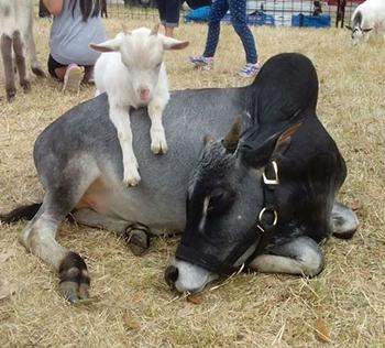 McKinney Oktoberfest Petting Zoo