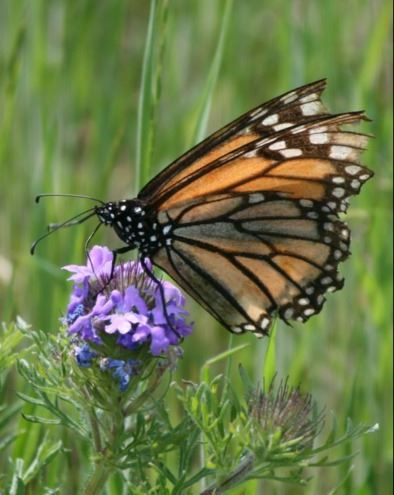 monarch on prairie verbena carol clark