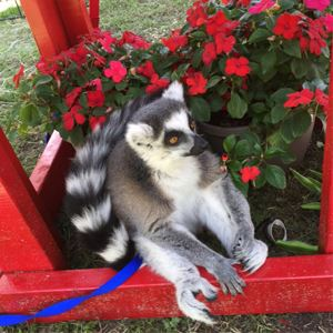 Lance the Lemur