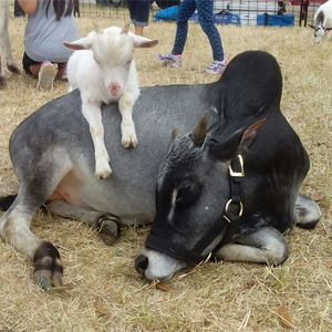 Cow and Goat in Petting Zoo