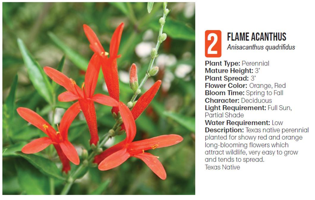 2 flame acanthus
