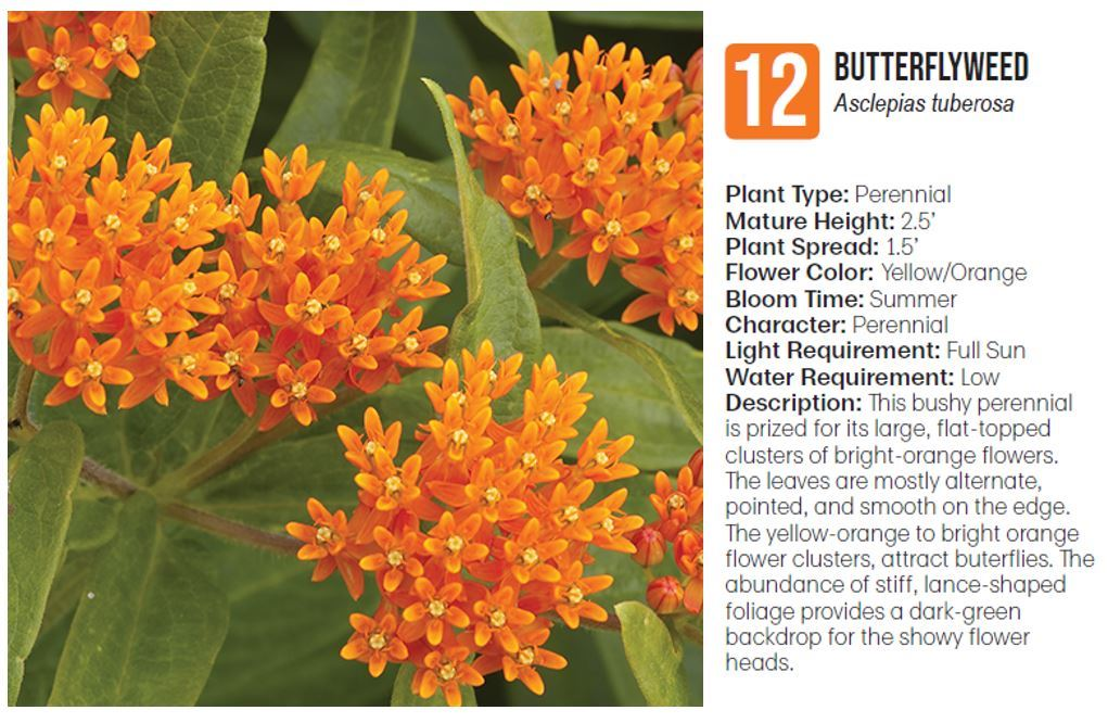 12 Butterfly weed